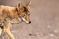 /images/133/2015-05-31-dv-coyote-1dx_1305.jpg - #12453: Coyote in Death Valley, California … May 2015 -- Death Valley, California