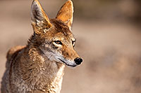/images/133/2015-05-31-dv-coyote-1dx_1313.jpg - #12454: Coyote in Death Valley, California … May 2015 -- Death Valley, California