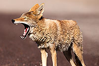 /images/133/2015-06-01-dv-coyote-1dx_1491.jpg - #12458: Coyote in Death Valley, California … June 2015 -- Death Valley, California