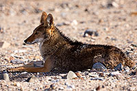 /images/133/2015-06-01-dv-coyote-1dx_1524.jpg - #12460: Coyote in Death Valley, California … June 2015 -- Death Valley, California