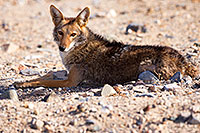 /images/133/2015-06-01-dv-coyote-1dx_1525.jpg - #12461: Coyote in Death Valley, California … June 2015 -- Death Valley, California