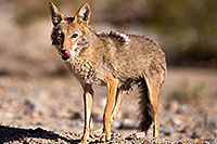 /images/133/2015-06-01-dv-coyote-1dx_1542.jpg - #12462: Coyote in Death Valley, California … June 2015 -- Death Valley, California