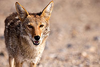 /images/133/2015-06-01-dv-coyote-1dx_1631.jpg - #12464: Coyote in Death Valley, California … June 2015 -- Death Valley, California