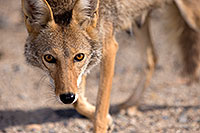 /images/133/2015-06-01-dv-coyote-1dx_1679.jpg - #12465: Coyote in Death Valley, California … June 2015 -- Death Valley, California