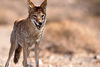 /images/133/2015-06-01-dv-coyote-1dx_1731.jpg - #12466: Coyote in Death Valley, California … June 2015 -- Death Valley, California