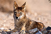 /images/133/2015-06-01-dv-coyote-1dx_1743.jpg - #12467: Coyote in Death Valley, California … June 2015 -- Death Valley, California