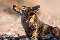 /images/133/2015-06-01-dv-coyote-1dx_1744.jpg - #12468: Coyote in Death Valley, California … June 2015 -- Death Valley, California
