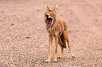 /images/133/2015-07-04-dv-coyotes-6d_2826.jpg - #12482: Coyote in Death Valley, California … July 2015 -- Death Valley, California