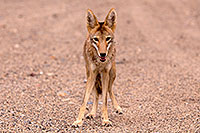/images/133/2015-07-04-dv-coyotes-6d_2840.jpg - #12483: Coyote in Death Valley, California … July 2015 -- Death Valley, California