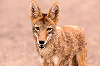 /images/133/2015-07-04-dv-coyotes-6d_2849.jpg - #12485: Coyote in Death Valley, California … July 2015 -- Death Valley, California