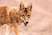 /images/133/2015-07-04-dv-coyotes-6d_2855.jpg - #12486: Coyote in Death Valley, California … July 2015 -- Death Valley, California