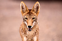 /images/133/2015-07-04-dv-coyotes-6d_2861.jpg - #12486: Coyote in Death Valley, California … July 2015 -- Death Valley, California