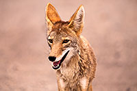 /images/133/2015-07-04-dv-coyotes-6d_2876.jpg - #12488: Coyote in Death Valley, California … July 2015 -- Death Valley, California