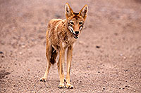 /images/133/2015-07-04-dv-coyotes-6d_2891.jpg - #12490: Coyote in Death Valley, California … July 2015 -- Death Valley, California