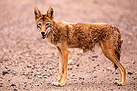 /images/133/2015-07-04-dv-coyotes-6d_2895.jpg - #12490: Coyote in Death Valley, California … July 2015 -- Death Valley, California