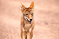 /images/133/2015-07-04-dv-coyotes-6d_2897.jpg - #12491: Coyote in Death Valley, California … July 2015 -- Death Valley, California