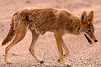 /images/133/2015-07-04-dv-coyotes-6d_2938.jpg - #12493: Coyote in Death Valley, California … July 2015 -- Death Valley, California
