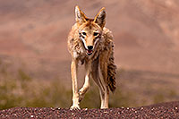 /images/133/2015-07-04-dv-coyotes-6d_2945.jpg - #12494: Coyote in Death Valley, California … July 2015 -- Death Valley, California