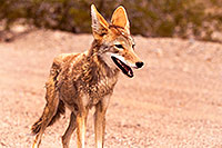 /images/133/2015-07-04-dv-coyotes-6d_2952.jpg - #12495: Coyote in Death Valley, California … July 2015 -- Death Valley, California
