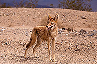 /images/133/2015-07-04-dv-coyotes-6d_2956.jpg - #12495: Coyote in Death Valley, California … July 2015 -- Death Valley, California