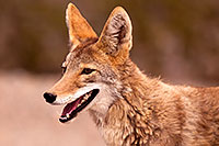 /images/133/2015-07-04-dv-coyotes-6d_2969.jpg - #12497: Coyote in Death Valley, California … July 2015 -- Death Valley, California