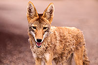 /images/133/2015-07-04-dv-coyotes-6d_3046.jpg - #12497: Coyote in Death Valley, California … July 2015 -- Death Valley, California
