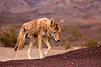 /images/133/2015-07-04-dv-coyotes-6d_3048.jpg - #12499: Coyote in Death Valley, California … July 2015 -- Death Valley, California