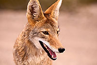/images/133/2015-07-04-dv-coyotes-6d_3051.jpg - #12505: Coyote in Death Valley, California … July 2015 -- Death Valley, California