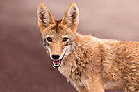 /images/133/2015-07-04-dv-coyotes-6d_3061.jpg - #12500: Coyote in Death Valley, California … July 2015 -- Death Valley, California