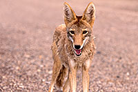 /images/133/2015-07-04-dv-coyotes-6d_3092.jpg - #12501: Coyote in Death Valley, California … July 2015 -- Death Valley, California