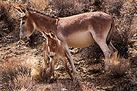 /images/133/2015-08-04-wildrose-donkeys-1dx_1240.jpg - #12550: Donkeys in Death Valley, California … August 2015 -- Wildrose, Death Valley, California