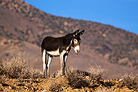 /images/133/2015-08-04-wildrose-donkeys-1dx_1416.jpg - #12552: Donkeys in Death Valley, California … August 2015 -- Wildrose, Death Valley, California