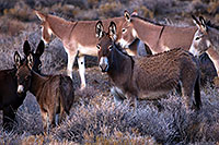 /images/133/2015-08-04-wildrose-donkeys-1dx_1466.jpg - #12554: Donkeys in Death Valley, California … August 2015 -- Wildrose, Death Valley, California