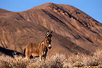 /images/133/2015-08-04-wildrose-donkeys-6d_7053.jpg - #12556: Donkeys in Death Valley, California … August 2015 -- Wildrose, Death Valley, California