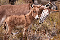 /images/133/2015-08-05-wildrose-donkeys-1dx_1714.jpg - #12562: Donkeys in Death Valley, California … August 2015 -- Wildrose, Death Valley, California