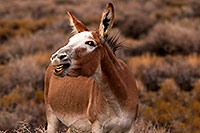 /images/133/2015-08-05-wildrose-donkeys-1dx_1778.jpg - #12563: Donkeys in Death Valley, California … August 2015 -- Wildrose, Death Valley, California