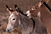 /images/133/2015-08-05-wildrose-donkeys-6d_7083.jpg - #12565: Donkeys in Death Valley, California … August 2015 -- Wildrose, Death Valley, California