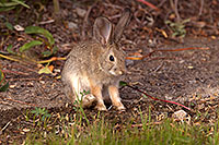 /images/133/2015-08-06-dv-wildrose-bunny-1dx_1971.jpg - #12567: Desert Cottontail in Death Valley, California … July 2015 -- Wildrose, Death Valley, California