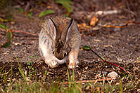 /images/133/2015-08-06-dv-wildrose-bunny-1dx_1977.jpg - #12568: Desert Cottontail in Death Valley, California … July 2015 -- Wildrose, Death Valley, California