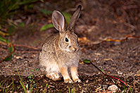 /images/133/2015-08-06-dv-wildrose-bunny-1dx_1978.jpg - #12568: Desert Cottontail in Death Valley, California … July 2015 -- Wildrose, Death Valley, California