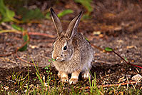 /images/133/2015-08-06-dv-wildrose-bunny-1dx_1994.jpg - #12570: Desert Cottontail in Death Valley, California … July 2015 -- Wildrose, Death Valley, California