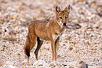/images/133/2015-08-12-dv-coyote-7am-1dx_2392.jpg - #12574: Coyote in Death Valley, California … August 2015 -- Death Valley, California