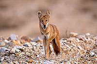 /images/133/2015-08-12-dv-coyote-7am-1dx_2417.jpg - #12574: Coyote in Death Valley, California … August 2015 -- Death Valley, California