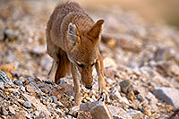 /images/133/2015-08-12-dv-coyote-7am-1dx_2702.jpg - #12577: Coyote in Death Valley, California … August 2015 -- Death Valley, California