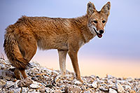 /images/133/2015-08-12-dv-coyote-7am-1dx_2714.jpg - #12579: Coyote in Death Valley, California … August 2015 -- Death Valley, California
