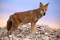 /images/133/2015-08-12-dv-coyote-7am-1dx_2733.jpg - #12579: Coyote in Death Valley, California … August 2015 -- Death Valley, California
