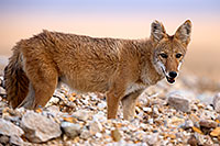 /images/133/2015-08-12-dv-coyote-7am-1dx_2758.jpg - #12581: Coyote in Death Valley, California … August 2015 -- Death Valley, California