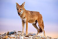 /images/133/2015-08-12-dv-coyote-7am-1dx_2789.jpg - #12581: Coyote in Death Valley, California … August 2015 -- Death Valley, California