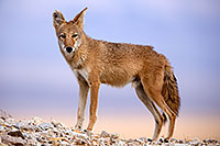 /images/133/2015-08-12-dv-coyote-7am-1dx_2841.jpg - #12584: Coyote in Death Valley, California … August 2015 -- Death Valley, California