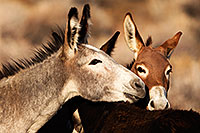 /images/133/2015-08-18-wildrose-donkeys-1dx_3664.jpg - #12610: Donkeys in Death Valley … August 2015 -- Wildrose, Death Valley, California